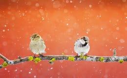 Dos pájaros divertidos se están sentando en el parque en la Navidad en una rama Fotos de archivo libres de regalías