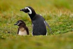 Dos pájaros en el agujero de tierra de la jerarquización, bebé con la madre, pingüino de Magellanic, magellanicus del Spheniscus, Foto de archivo