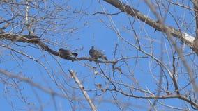 Dos pájaros en una rama seca almacen de metraje de vídeo