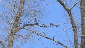 Dos pájaros en una rama seca almacen de video