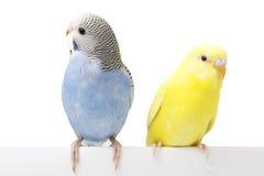 Dos pájaros están en un fondo blanco Fotografía de archivo libre de regalías