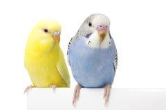 Dos pájaros están en un fondo blanco Imagen de archivo libre de regalías
