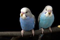 Dos pájaros están en un fondo negro Imagen de archivo