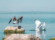 Dos pájaros grandes Gary y gaviotas blancas Los pájaros que separan las alas La gaviota gris condujo la gaviota blanca de la pied imagen de archivo