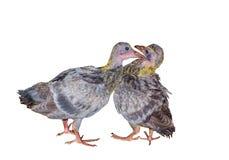 Dos pájaros grises de la paloma del bebé que besaban y que se acoplaban aislaron en el fondo blanco Fotografía de archivo