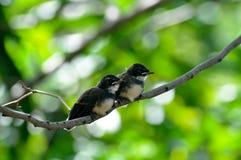 Dos pájaros jovenes imagen de archivo