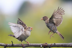Dos pájaros juguetones que luchan mal en una rama en el parque Fotografía de archivo