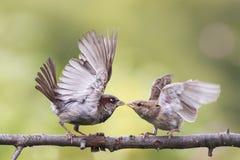 Dos pájaros juguetones que luchan mal en una rama en el parque Foto de archivo
