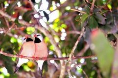 Dos pájaros Long-tailed del pinzón Fotografía de archivo libre de regalías