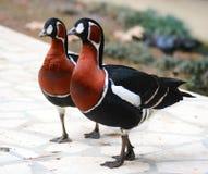 Dos pájaros multicolores foto de archivo libre de regalías