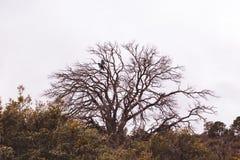 Dos pájaros negros en árbol muerto Fotografía de archivo libre de regalías