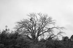 Dos pájaros negros en árbol muerto Fotos de archivo
