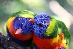 Dos pájaros preening cada otros empluman. Foto de archivo libre de regalías