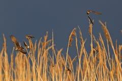 Dos pájaros que se persiguen en el fondo del cielo tempestuoso Foto de archivo