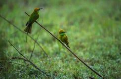 Dos pájaros verdes del comedor de abeja Imagenes de archivo
