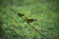 Dos pájaros verdes del comedor de abeja en la conversación Fotos de archivo libres de regalías