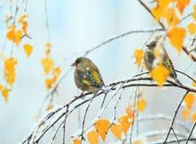 Dos pájaros verdes lindos que se sientan en el otoño brillante cultivan un huerto en un Br Fotos de archivo libres de regalías