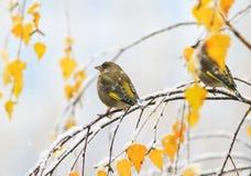 Dos pájaros verdes lindos que se sientan en el otoño brillante cultivan un huerto en un Br Imágenes de archivo libres de regalías