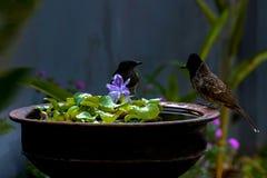 Dos pájaros y el mismo pote de la piscina de agua foto de archivo libre de regalías