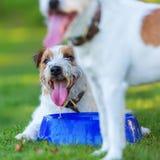 Dos párroco Russell Terrier en el prado fotografía de archivo libre de regalías