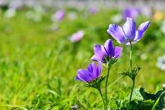 Dos púrpura Coronaria Fotos de archivo libres de regalías