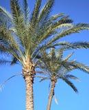 Dos palmeras Fotografía de archivo