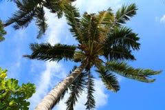 Dos palmeras agradables en el cielo soleado azul Fotografía de archivo libre de regalías