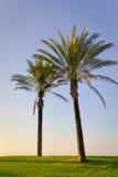 Dos palmeras que se colocan en hierba verde en sol Foto de archivo