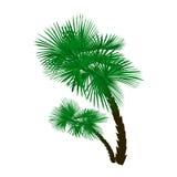 Dos palmeras verdes en ángulo en el fondo blanco Ilustración Imágenes de archivo libres de regalías