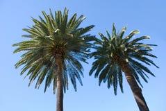 Dos palmeras y cielo azul Foto de archivo libre de regalías
