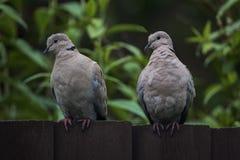 Dos palomas agarradas curiosas que se sientan en una cerca de madera oscura Fotografía de archivo libre de regalías