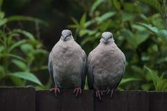 Dos palomas agarradas que miran derecho la cámara Fotos de archivo libres de regalías