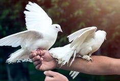 Dos palomas blancas en la mano del ` s del hombre fotografía de archivo
