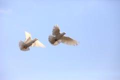 Dos palomas blancas que vuelan Imagen de archivo