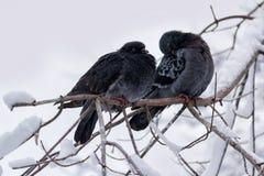 Dos palomas congeladas que se sientan en una rama en el parque Imagen de archivo libre de regalías