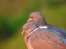 Dos palomas de madera de las cotorras rizadas fotografía de archivo libre de regalías