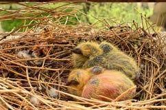 Dos palomas del bebé Fotos de archivo libres de regalías