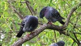 Dos palomas en una rama de árbol bajo lavado verde del follaje y limpian sus plumas almacen de video