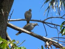 Dos palomas grises del tabaco en ramas separadas en un árbol Foto de archivo