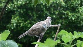 Dos palomas jovenes de la cebra que se atusan y que se relajan en la rama de árbol metrajes
