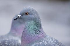 Dos palomas que pasan cerca. foto de archivo