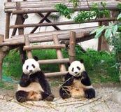 Dos pandas imágenes de archivo libres de regalías