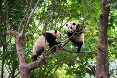 Dos pandas gigantes que juegan en un árbol Foto de archivo libre de regalías