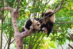 Dos pandas jovenes que juegan en un árbol Imagen de archivo libre de regalías