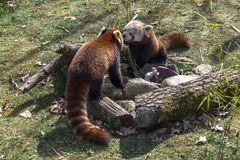 Dos pandas rojas Foto de archivo libre de regalías