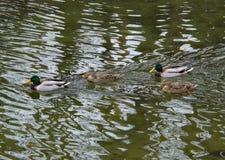 Dos pares de patos silvestres de la cría fotos de archivo libres de regalías
