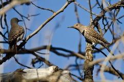 Dos parpadeos septentrionales encaramados en una rama en un árbol Foto de archivo libre de regalías