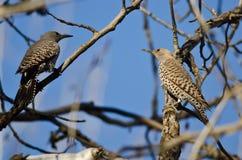 Dos parpadeos septentrionales encaramados en una rama en un árbol Foto de archivo