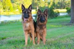 Dos pastores alemanes Imagen de archivo libre de regalías