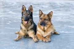 Dos pastores alemanes Fotografía de archivo libre de regalías